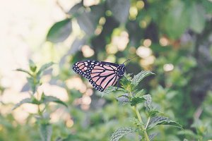 Monarch on mint