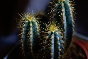 cactus eco indoor