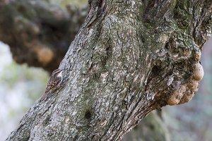 certhia brachydactyla, treecreeper,
