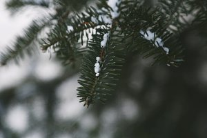 Snow on Fir Tree Branches