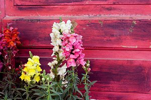 Snapdragons and red door