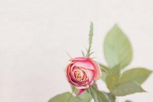 'Parade' rosebud