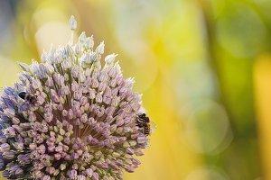 Bees on garlic blossom