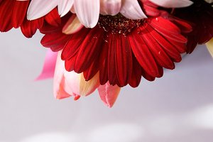 Red and pink gerberas and tulips
