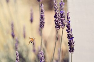 Honeybee flying by lavender