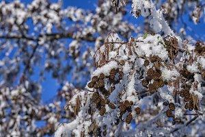 Birch tree with snow