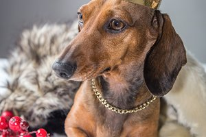 Dachshund red dress magician king