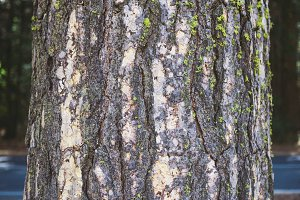 Pine tree bark background pattern -