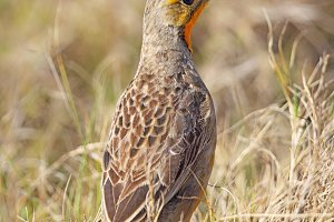 Cape Longclaw (Macronyx capensis)