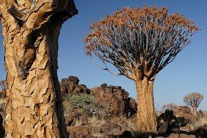 Quiver Trees (Aloe dichotoma)