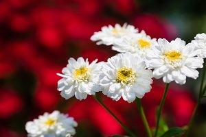 Garden Matricaria
