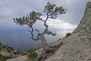 Pine on a rock against the gray sky.