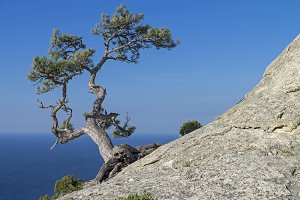 Pine on a rock against the blue sky.