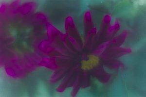 Pretty  purple Dahlia