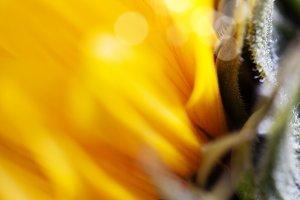 Beautiful fresh yellow Sunflowers