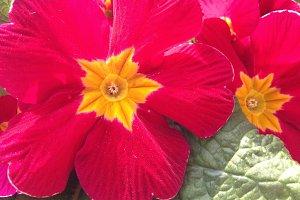 Red Primula