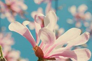 Blooming magnolia flowers