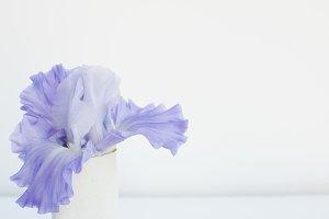Iris styled stock photo