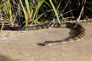 Common Tiger Snake