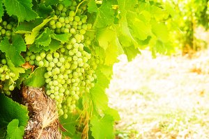growing white grape
