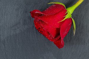 Lovely Red Rose on Stone
