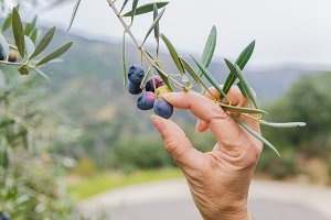 Hand picking olives.jpg