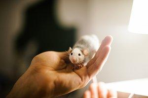 Little rat husky dumbo gray