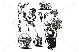 Men and women harvest the grapes