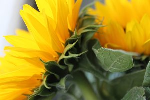 Sunshine Petals #1