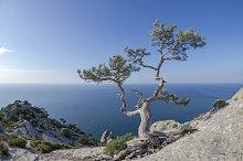 Relic pine in the rocks on seashore