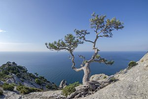 Relic pine in the rocks on seashore