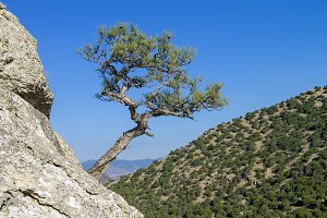 Relic pine against a cloudless sky.