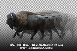 American Bison Running