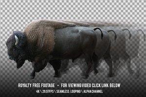 American Bison Walking