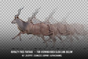 Antelope Kudu Galloping