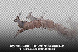 Antelope Kudu Jumping