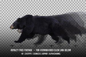 American Black Bear Running