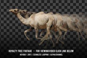 Camel Running
