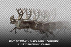 Reindeer Caribou Running