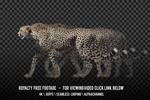 Cheetah Walking