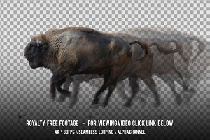 European Bison Wisent Running