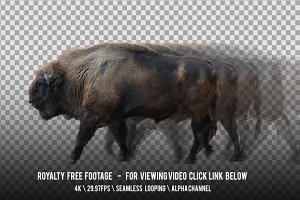 European Bison Wisent Walking