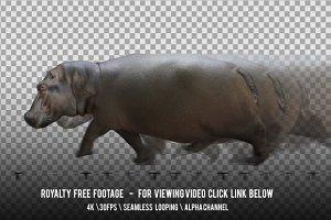 Hippo Hippopotamus Running