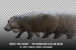 Hippo Hippopotamus Walking