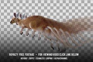 Kangaroo Running Jumping