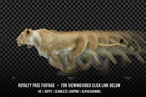 Lioness Running