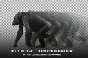 Monkey Chimpanzee Walking