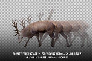 Red Deer Grazing