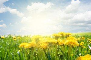 dandelion field