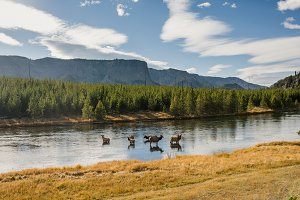 Yellowstone River with Elk